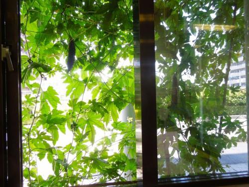 事務室の中から見た風景。ゴーヤーの実がなんとも愛らしい。